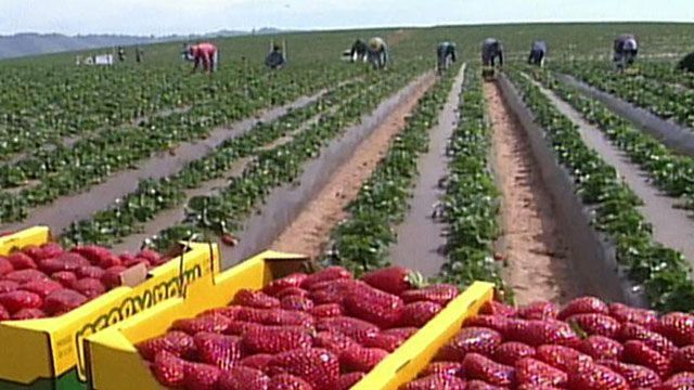 California Strawberry Commission President Mark Murai discusses why new government regulations will threaten profits for growers.